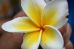 Eine Frangipani-Blüte.