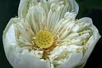 Eine voll erblühte Lotusblume.
