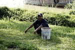 Rasenpflege auf vietnamesisch, die überstehenden Halme werden ausgerissen oder mit der Schere gestutzt.
