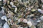 Muschelschalen am Strand.