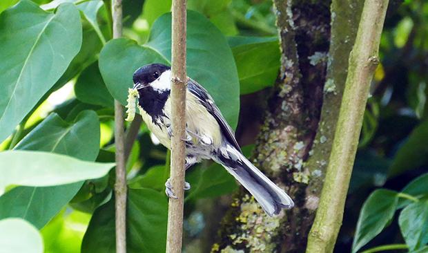 Besonders eifrig sind die Vogeleltern - wie diese Kohlmeise - in diesen Tagen damit beschäftigt, ihren Nachwuchs mit frischen Leckereien zu versorgen.